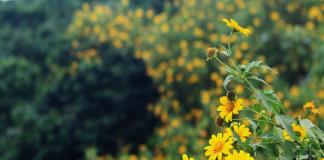 Phượt Ba Vì ngắm hoa dã quỳ tháng 11/2018