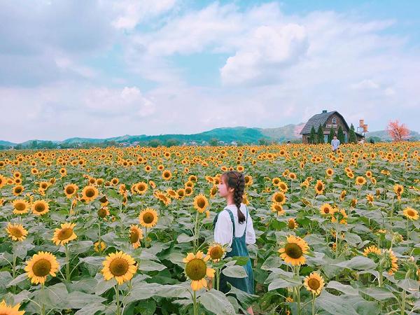Vườn hoa hướng dương gần Hà Nội thu hút giới trẻ