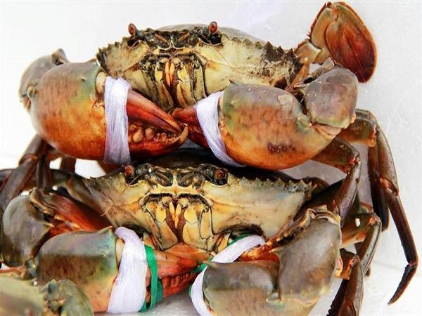 Dân đổ xô nuôi cua biển đạt năng xuất cao
