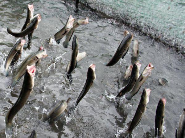 Nằm mơ thấy cá lóc đánh con gì, là điềm lành hay dữ